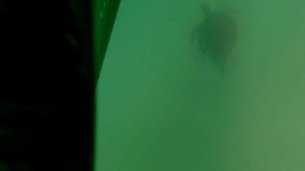 Paddle Boarding in Destin Florida -Sea Turtle in front