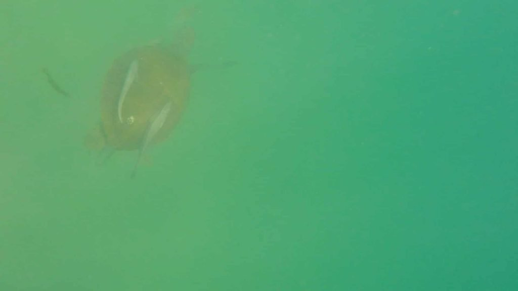 Paddle Boarding in Destin Florida -Sea Turtle with fish on back
