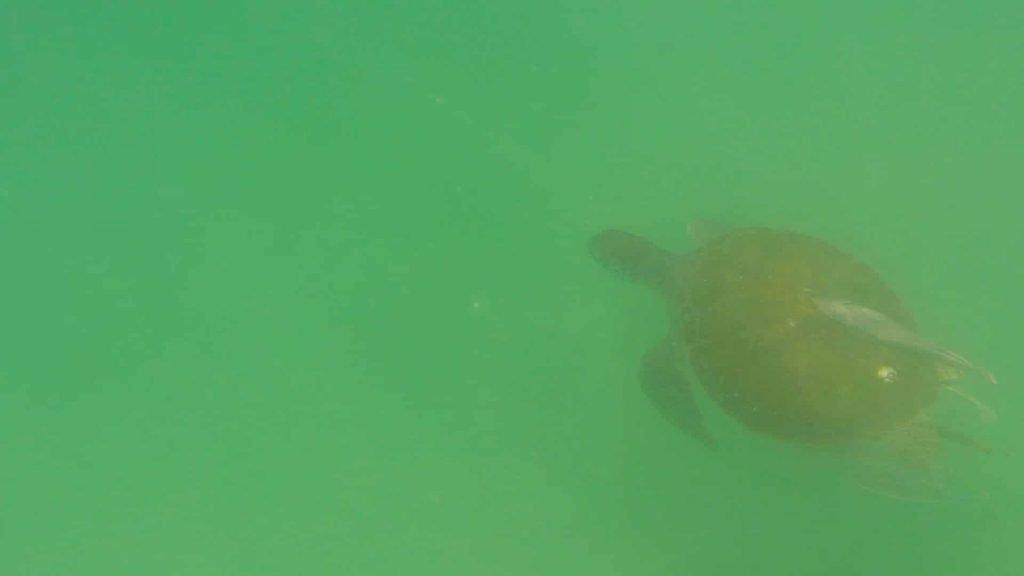 Paddle Boarding in Destin Florida -Sea Turtle below board