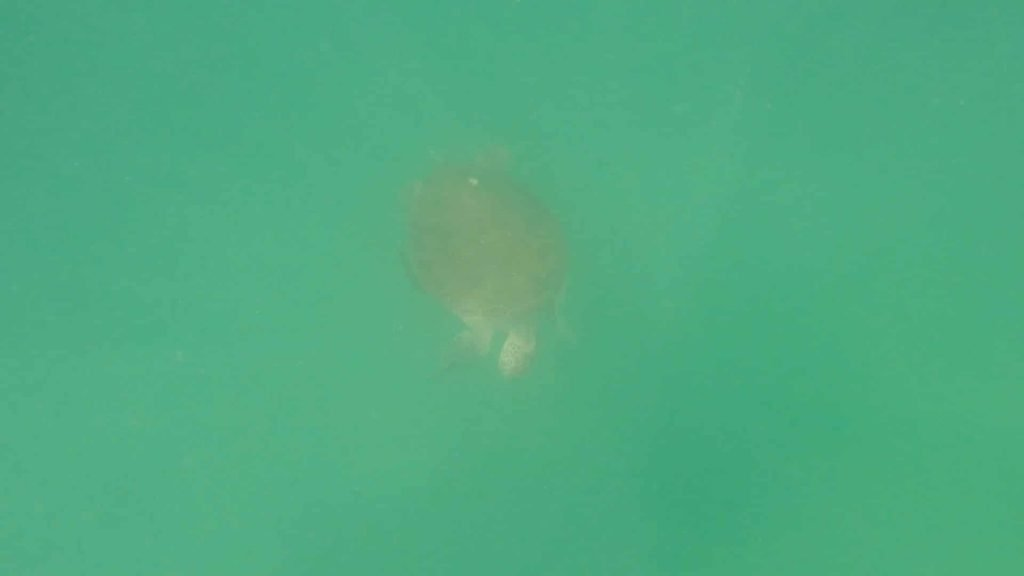 Paddle Boarding in Destin Florida -Sea Turtle below