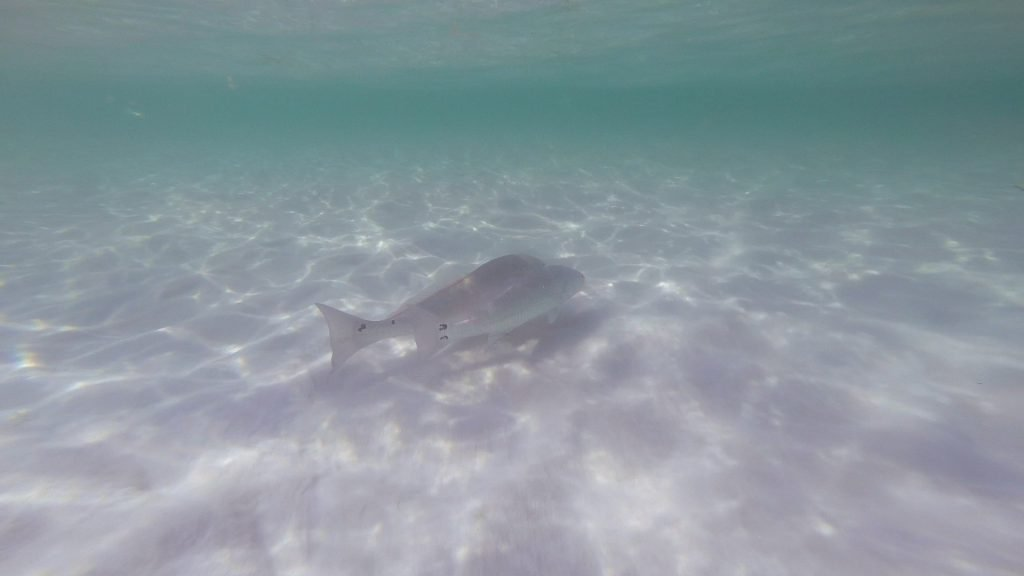 Redfish at the beach - two