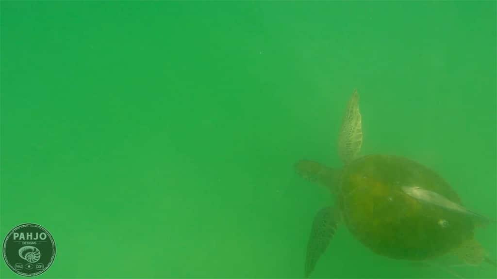 sea turtle in Destin, Florida